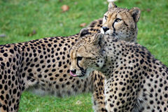 Pair of cheetah's Royalty Free Stock Image