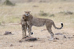 Pair of Cheetahs Royalty Free Stock Photos