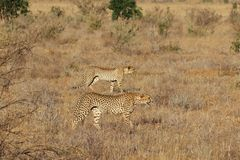 Pair of cheetahs on the hunt. royalty free stock images
