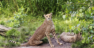 A Pair of Cheetahs in the Jungle Royalty Free Stock Photo