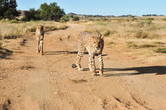 A pair of cheetahs on the move stock photography