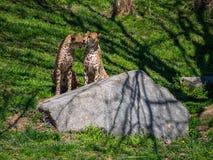 Two Cheetah at Zoo, Grooming stock image