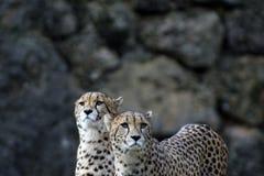 A pair of cheetahs in the park stock photos