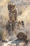 Pair of Cheetahs Stock Photo