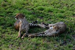 A romantic pair of Cheetahs Stock Photo