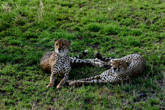 A pair of Cheetahs. A couple of cheetahs sitting close together Royalty Free Stock Photos