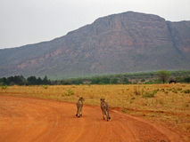 Pair of Cheetahs Walking Stock Photography