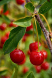 Pair of cherries. On a branch Royalty Free Stock Image