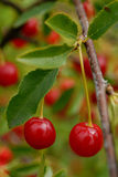 Pair of cherries. On a branch Royalty Free Stock Images