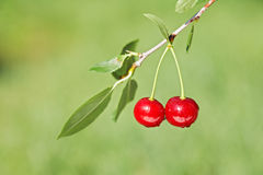 Pair of cherries on cherry-tree in orchard Stock Image