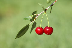 Pair of cherries on cherry-tree in orchard Stock Photo
