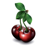 Pair of cherries isolated on white background. Royalty Free Stock Image