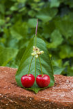 A pair of cherries. Royalty Free Stock Image