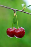 Pair of cherry Stock Image