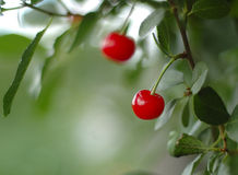 Pair of cherry berry with leaves around on a tree Royalty Free Stock Photography
