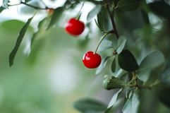 Pair of cherry berry with leaves around on a tree Stock Photography