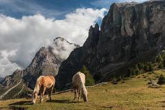 Pair of chestnut horses grazing on meadow in Dolomites Stock Images