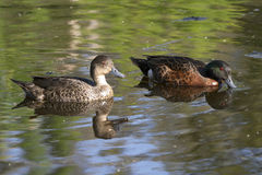 Pair of chestnut teal Royalty Free Stock Photo