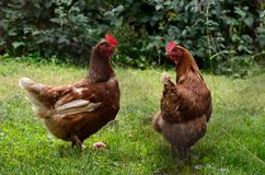Pair of chicken in the garden. Two chickens in the countryside with grass. Hen standing and looking Stock Photos