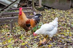 Chickens - rooster and hen stock photo
