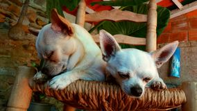Pair of chihuhuas. Stock Photography