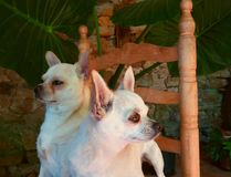 Pair of chihuhuas. royalty free stock photo