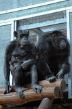 Pair of chimpanzees Stock Image