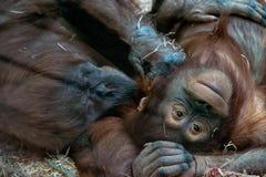 Pair of chimpanzees stock image