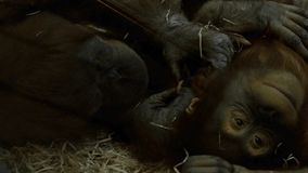 Pair of chimpanzees. Resting on their backs on the hay. soft touching relationship between monkeys, close up view stock video footage