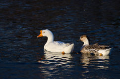 Pair of Chinese Geese Swimming on the Dark Blue Water Stock Photography