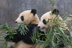 Pair of Chinese Giant Pandas Royalty Free Stock Images