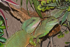 A pair of Chinese water dragons. royalty free stock photo