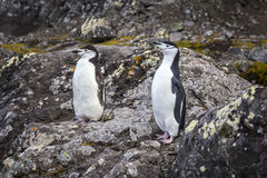 A pair of Chinstrap penguins Royalty Free Stock Images