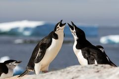 A pair of chinstrap penguins Pygoscelis antarcticus greeting each other with a mating display, Antarctica stock photography