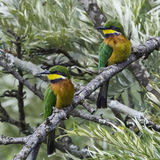 Pair of Cinnamon-chested Bee-eaters. The Cinnamon-chested Bee-eater is usually found in pairs or small groups. It nests in groups, in soft earth banks Royalty Free Stock Photos