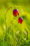 Pair of closeup red flowers. In a grass royalty free stock images