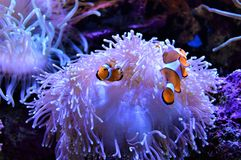 Clown fish sheltered in their anemone stock image