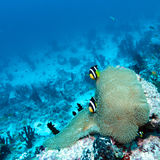 Pair of Clown Fishes near Anemone Royalty Free Stock Photography