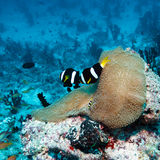 Pair of Clown Fishes near Anemone Royalty Free Stock Image