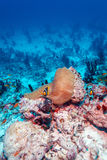 Pair of Clown Fishes near Anemone Royalty Free Stock Images