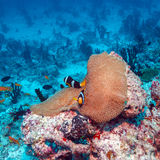 Pair of Clown Fishes near Anemone Stock Photography