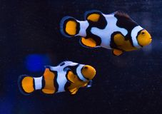 Clownfish pair. Pair of clownfish (Amphiprion percula) swimming in profile isolated against a dark background royalty free stock images