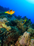 Pair of Clownfish around their anemone on a coral reef. A pair of Anemonefish swim around a colorful tropical coral reef stock photos