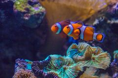 The pair. A pair of clownfish swimming togther Stock Photo