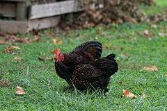 Pair of Cochin Chickens. Cochins. A rooster Cochin offers a hen some food Stock Photo