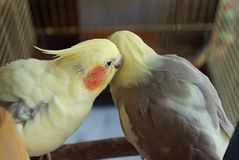 Whisper a secret - feathered friends. A pair of cockatiels in a cage with one appearing to whisper in the ear of the other, leaning in to listen stock photo