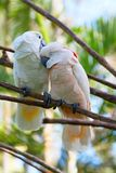 Pair of cockatoo Stock Photography