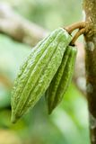 Pair of Cocoa Fruit. Young cocoa – after being roasted and ground, the seeds of the cocoa tree will be made chocolate stock image