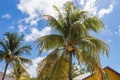 Pair of Coconut Palm Trees Stock Images