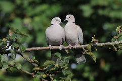 Pair of Collared Doves. Perched on branch, green nature background Stock Images